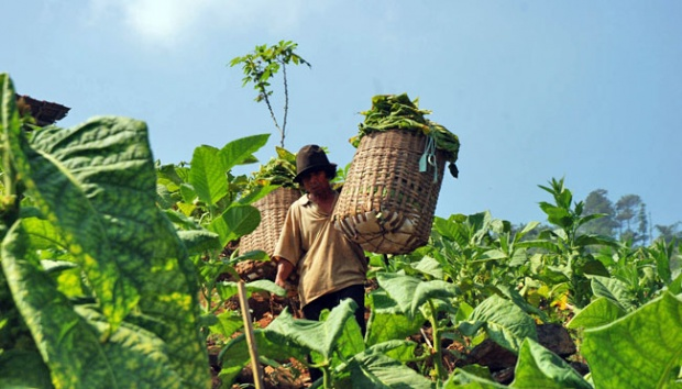 Dihantam Pandemi, Petani Minta Pemerintah Dukung Kelangsungan Industri Hasil Tembakau
