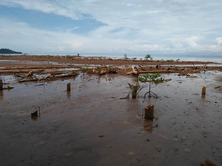Pasca Longsor, Begini Potret Tanaman Mangrove di Pesisir Pantai Batu Minggoro
